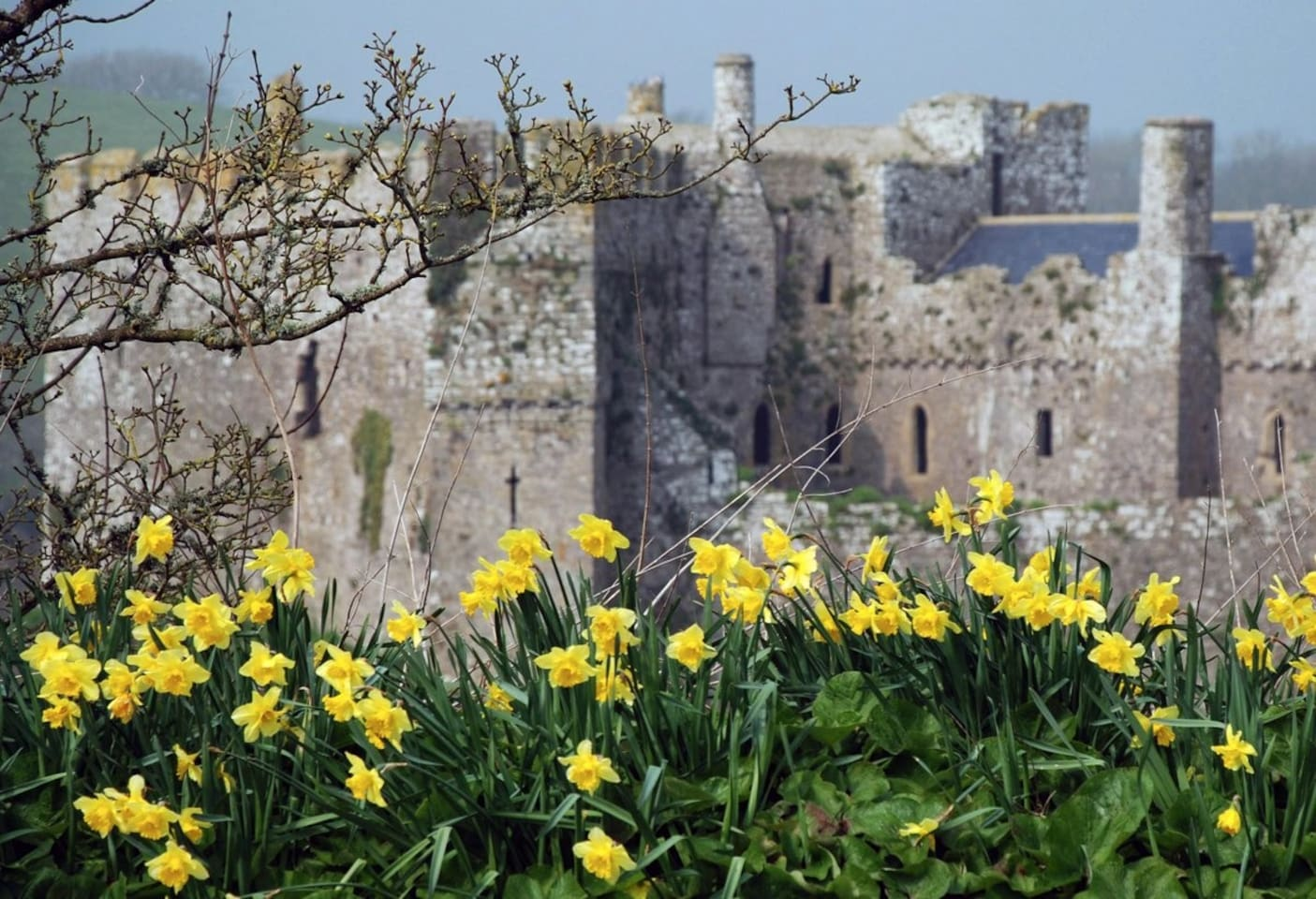 Wales Castle Daffodils