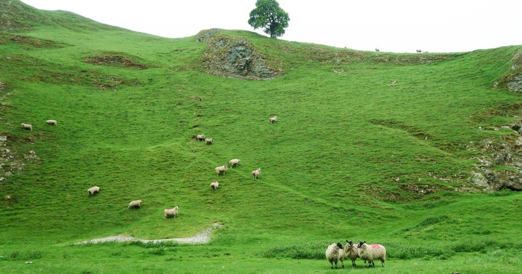 Peak District Sheep