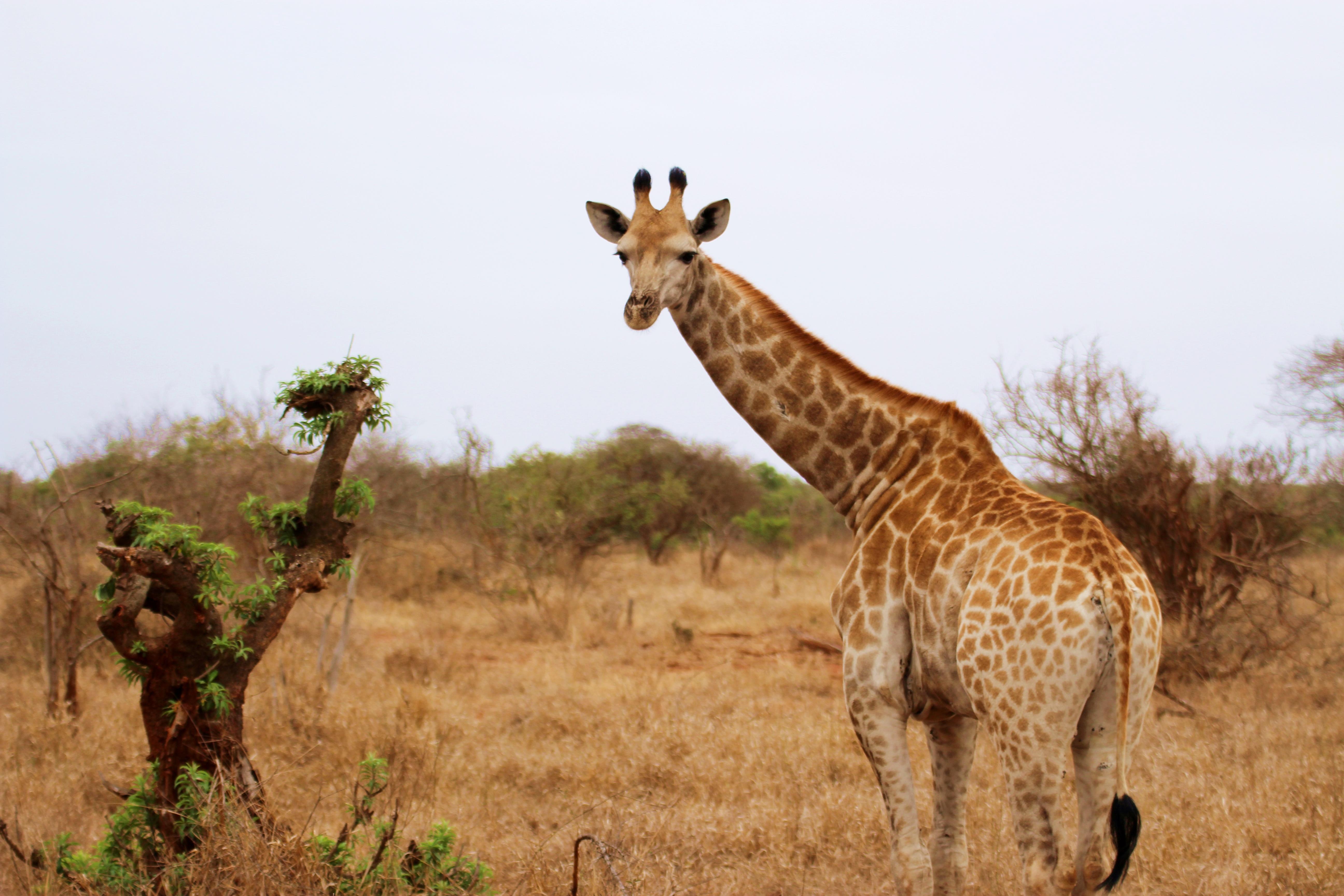 Kruger Giraffe Looking At Camera