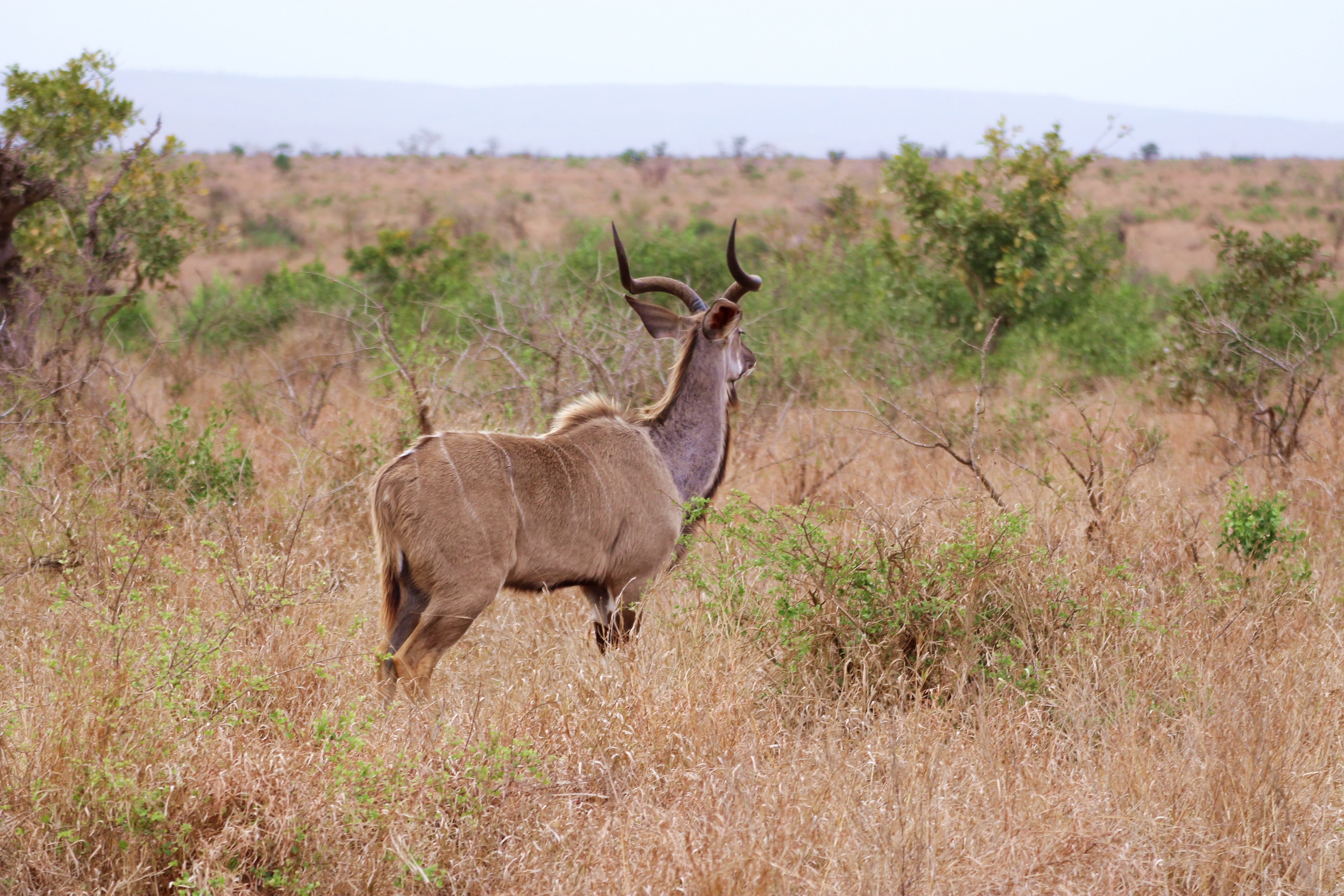 Kruger Kudu Looking Into Distance