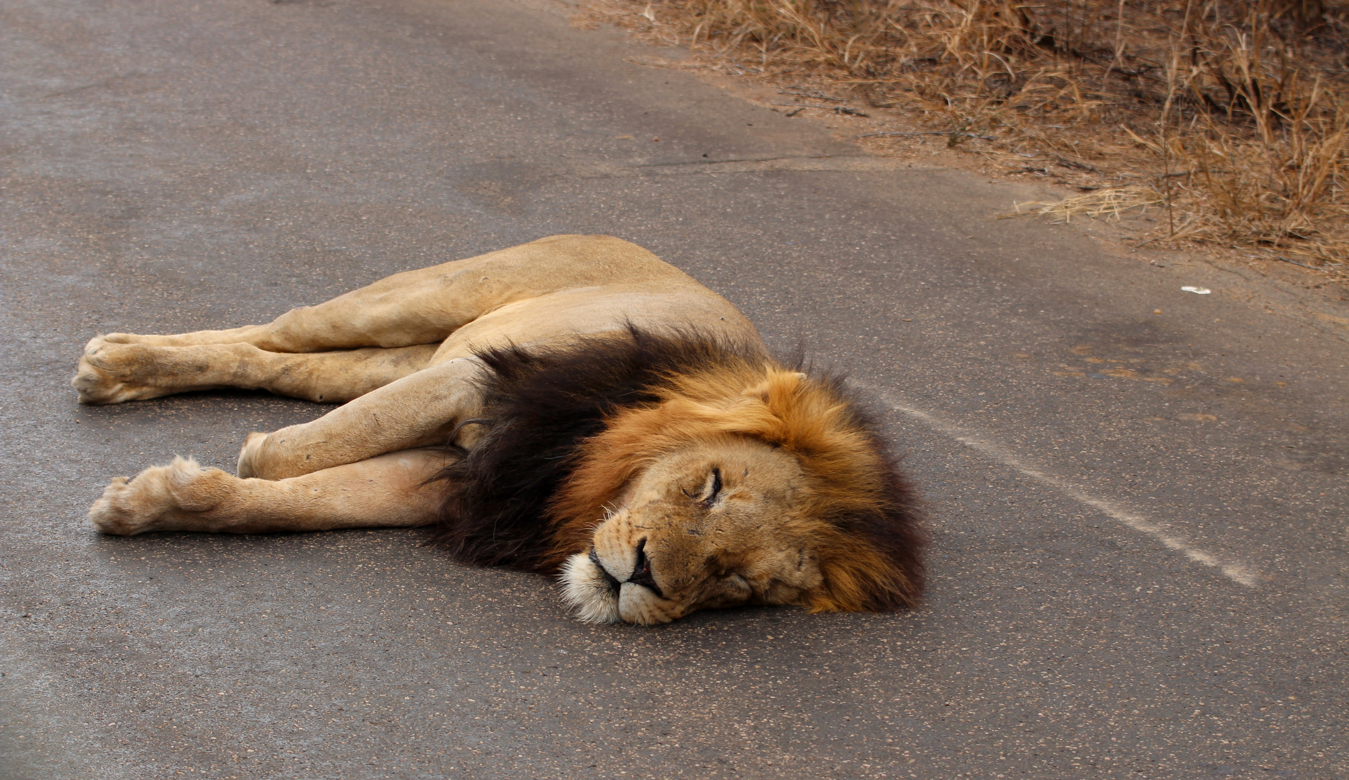 Kruger lion sleeping in road