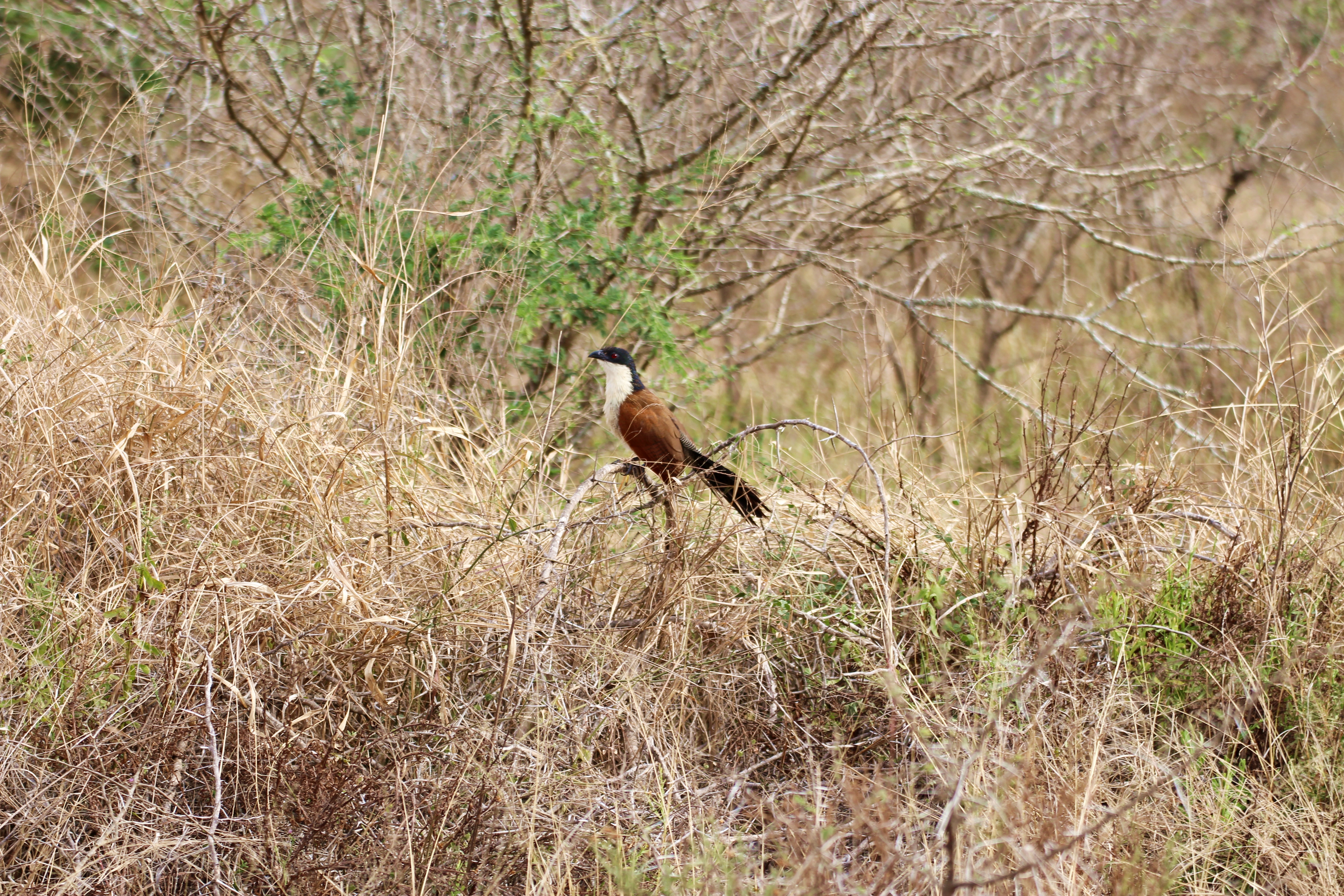 Kruger Bird in Trees