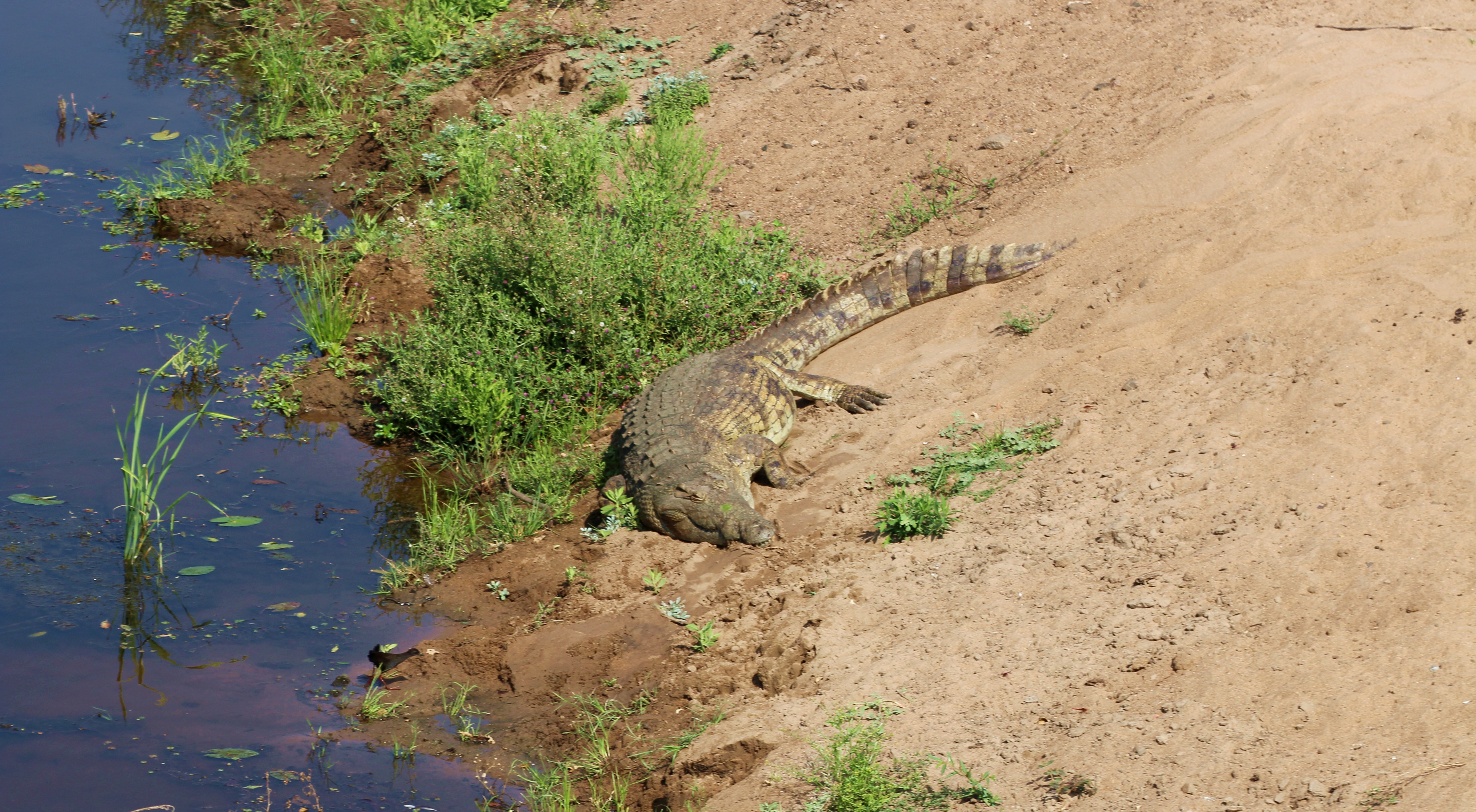 Kruger Crocodile by water