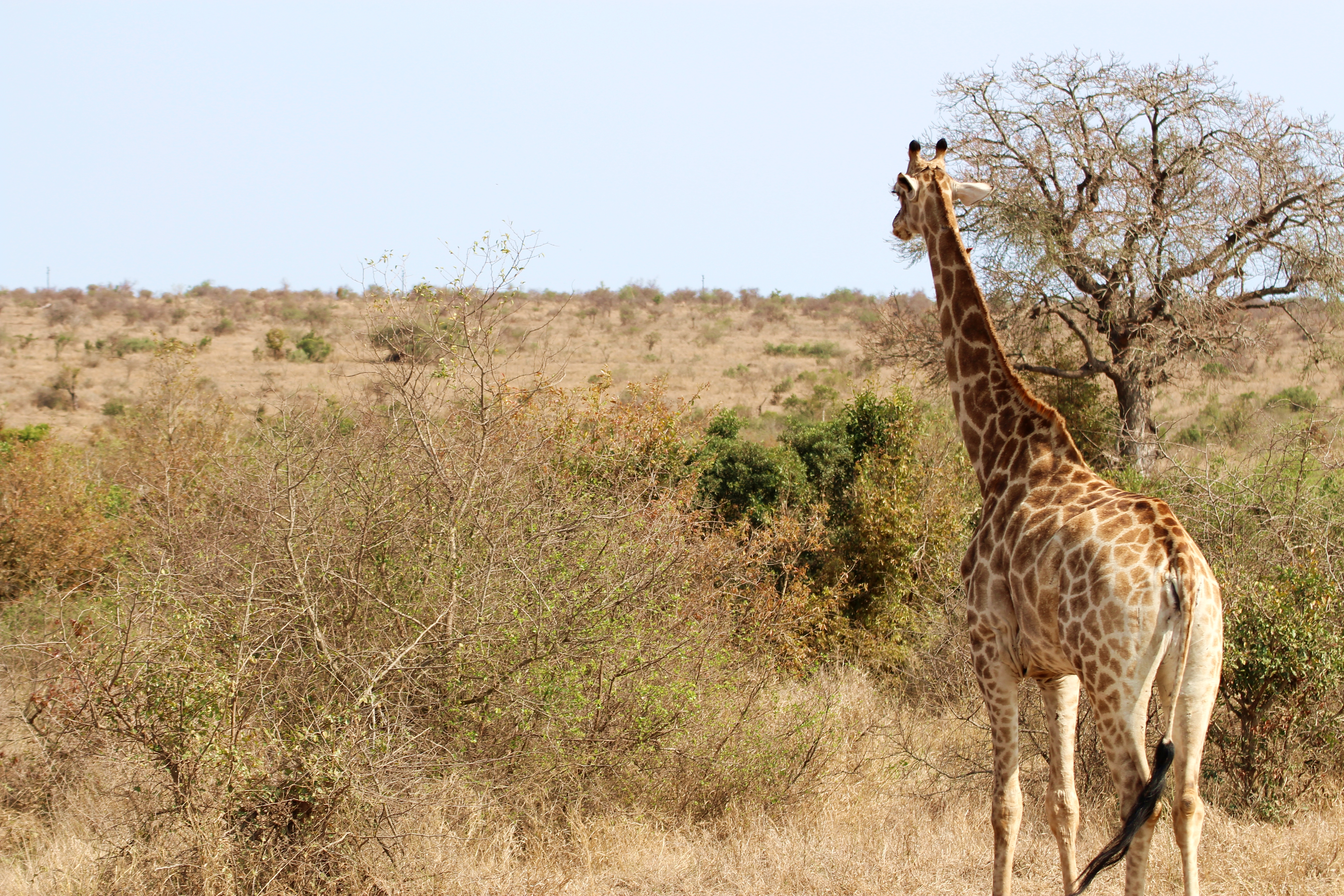 Kruger giraffe looking into the distance