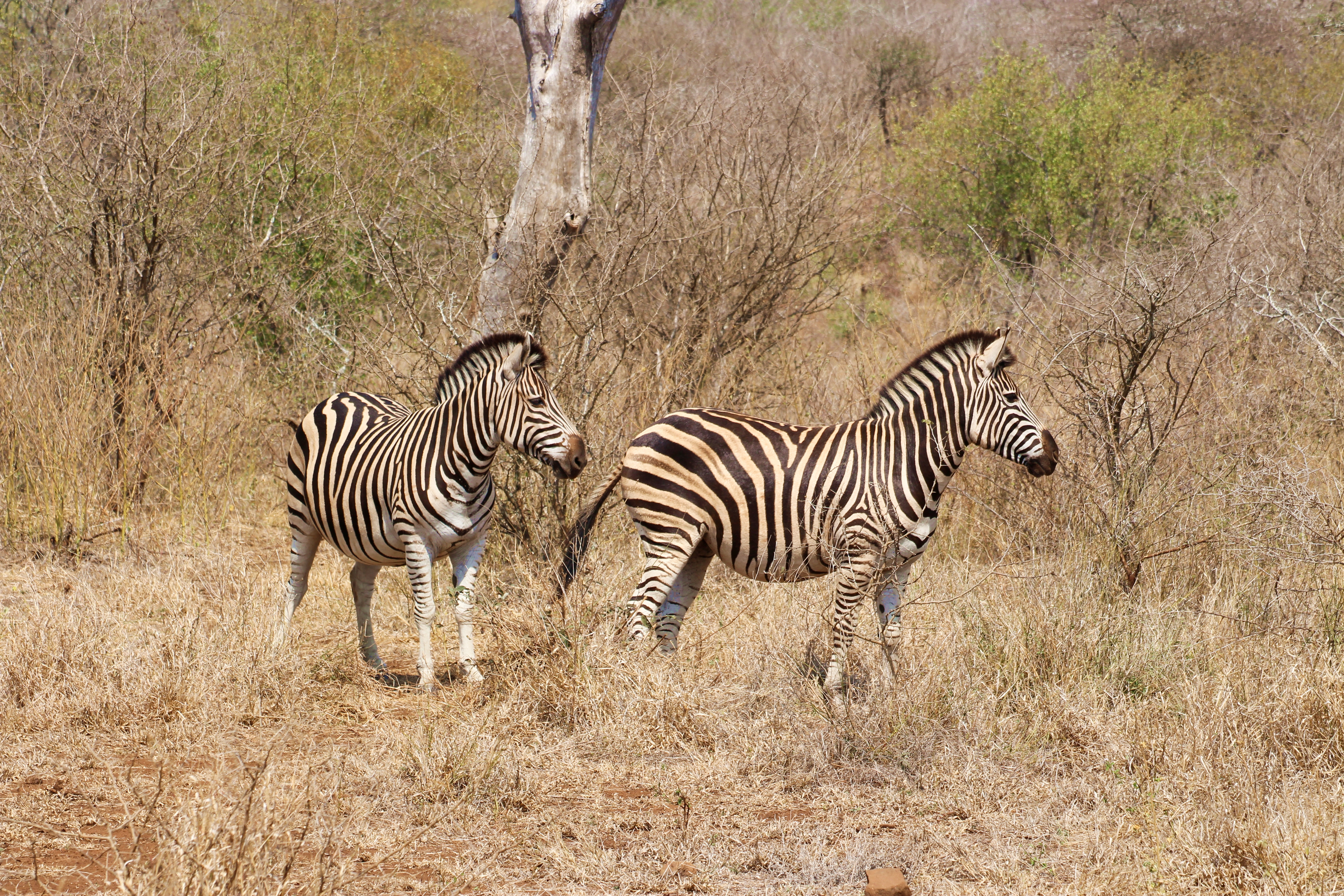 Two zebra in Kruger