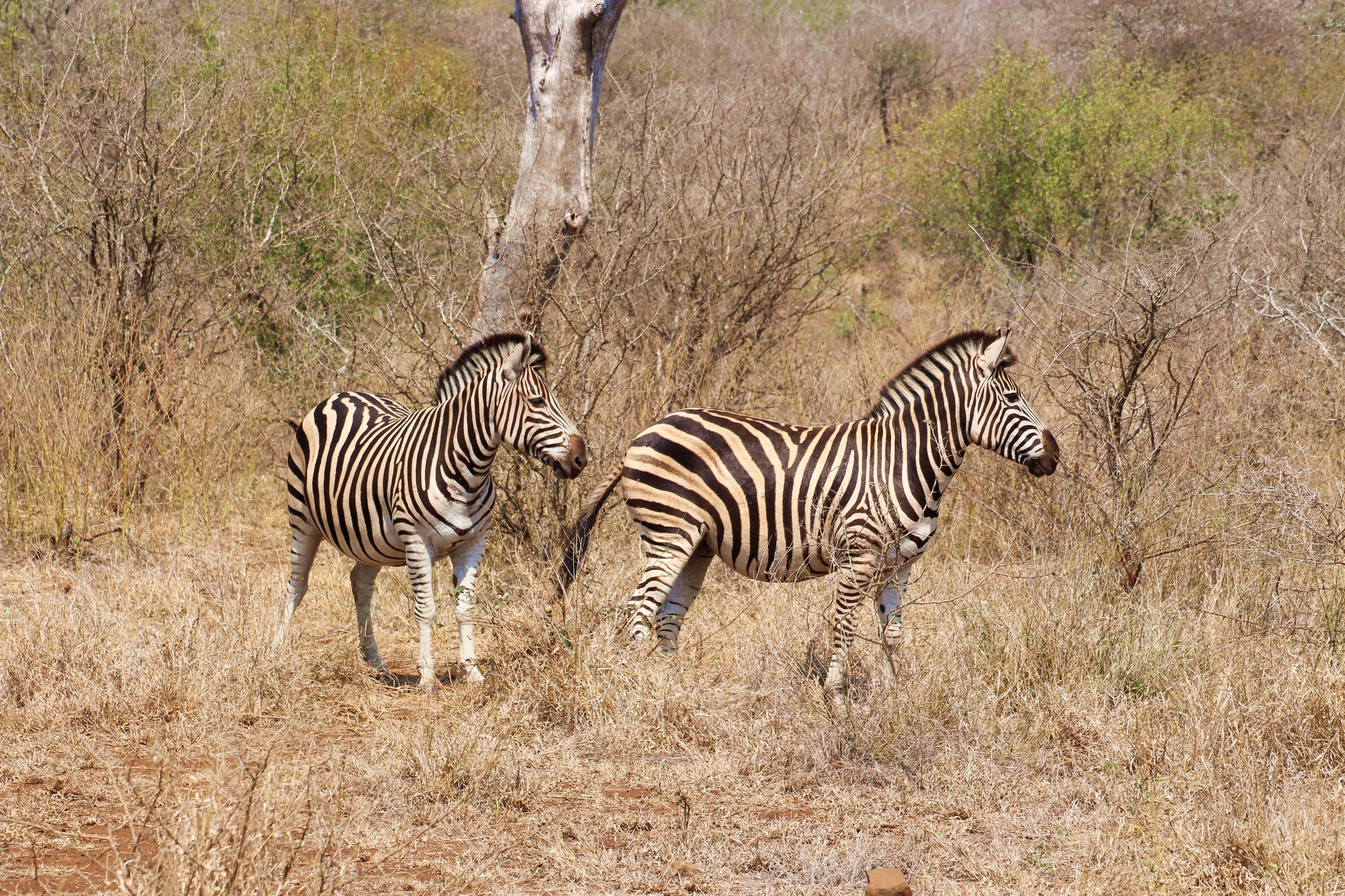 Two zebra in Kruger