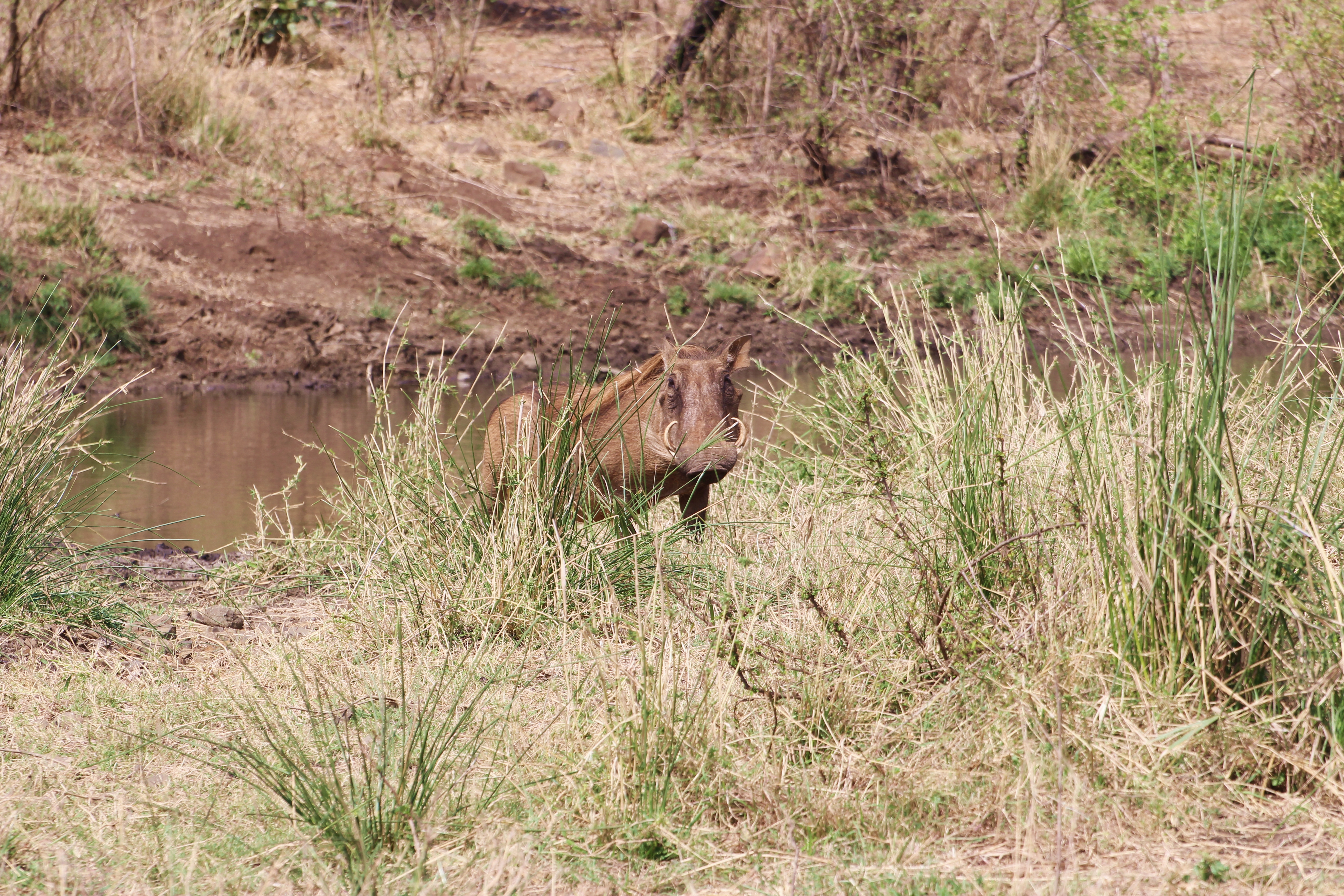 Kruger warthog by watering hole
