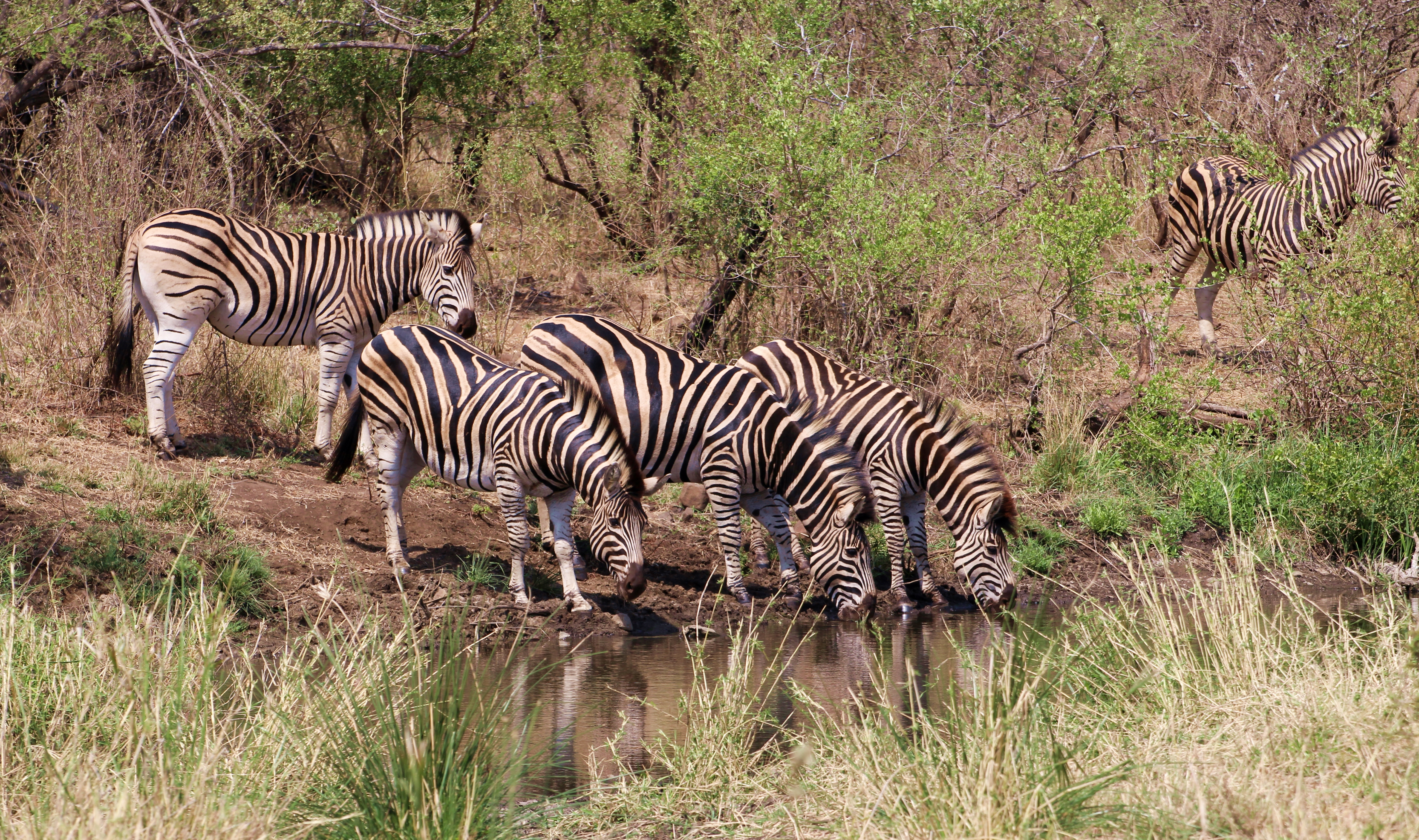 Kruger zebra by watering hole