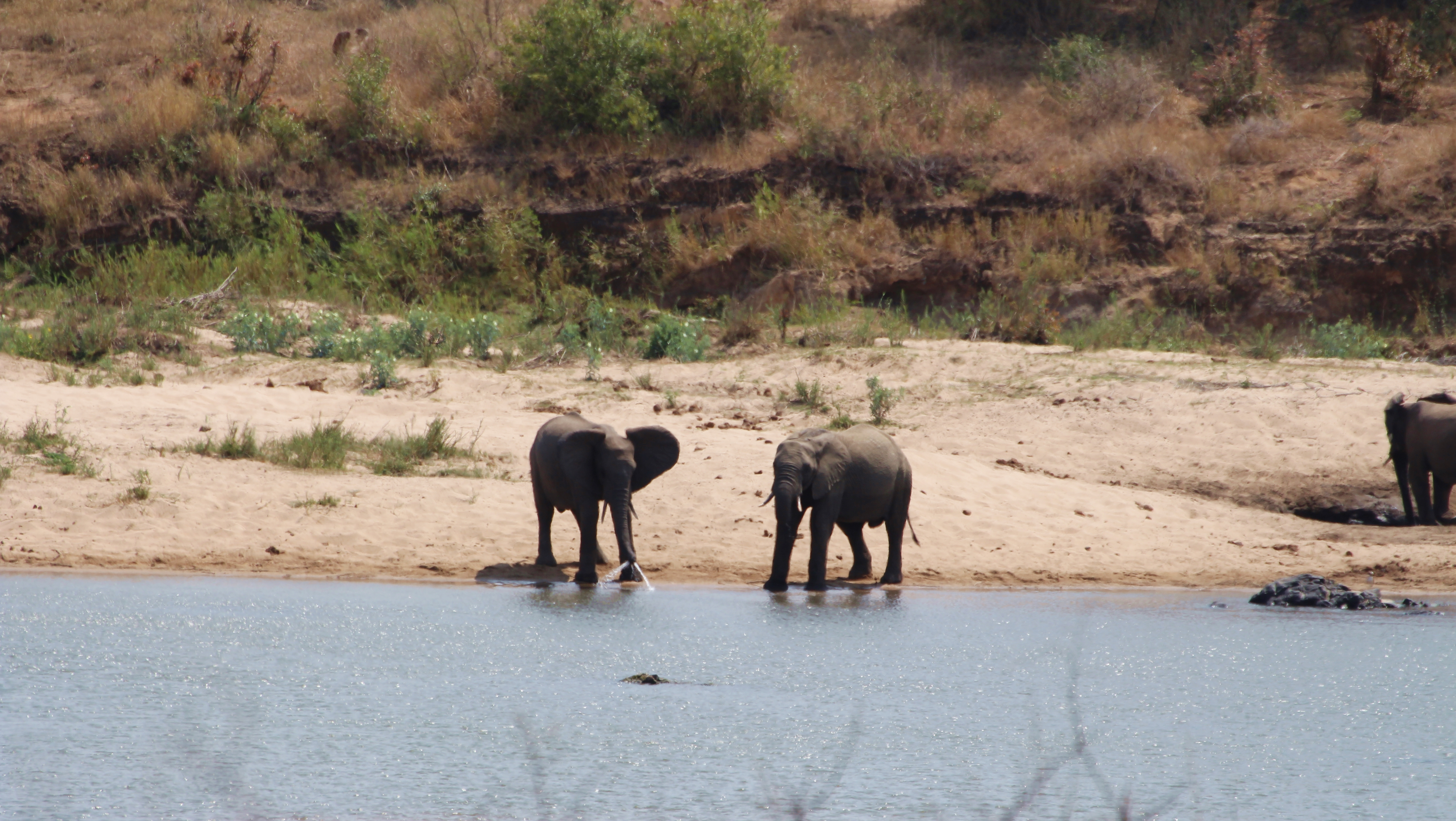 Kruger elephants playing in water