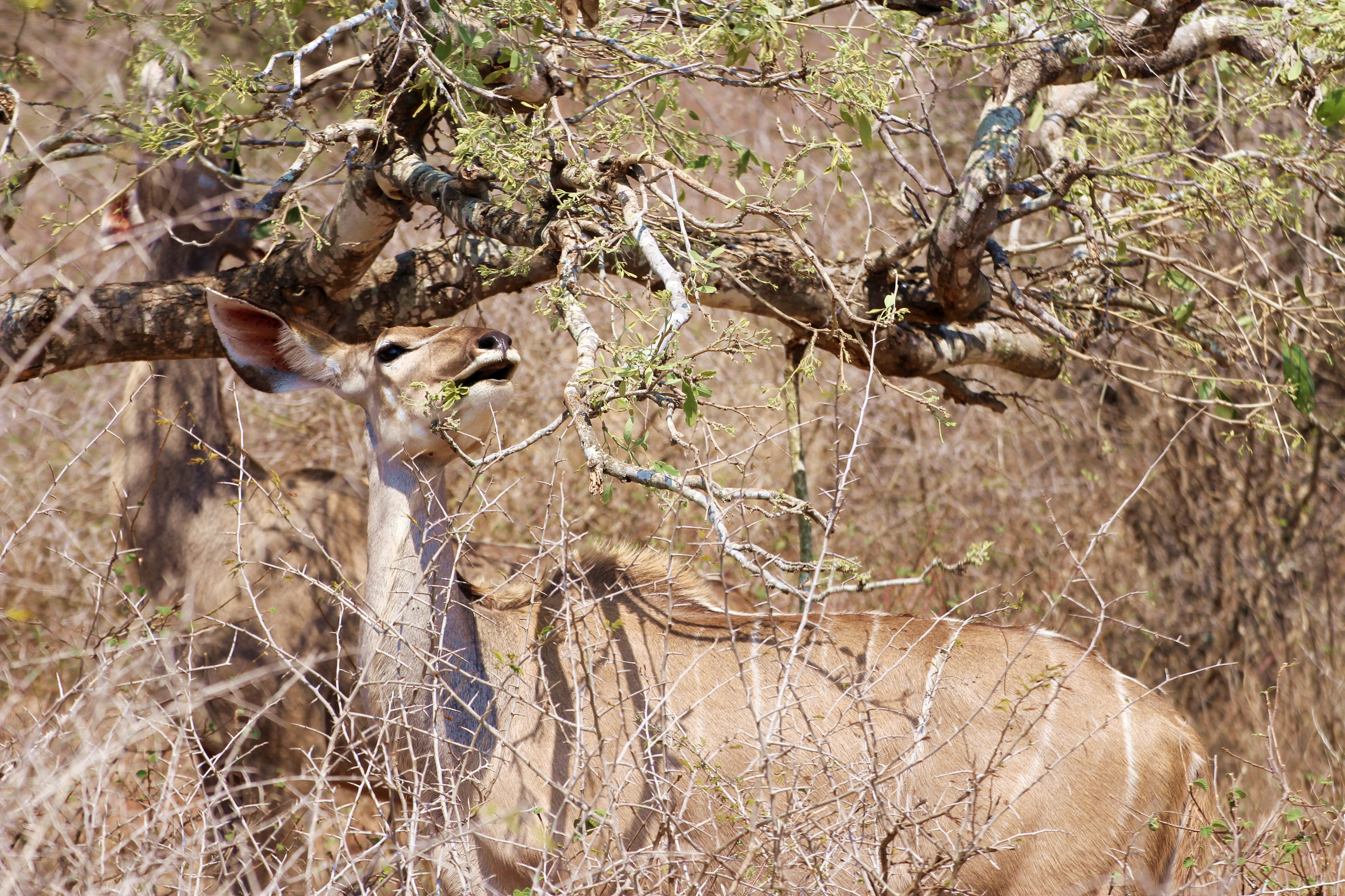 Kruger antelope eating from tree