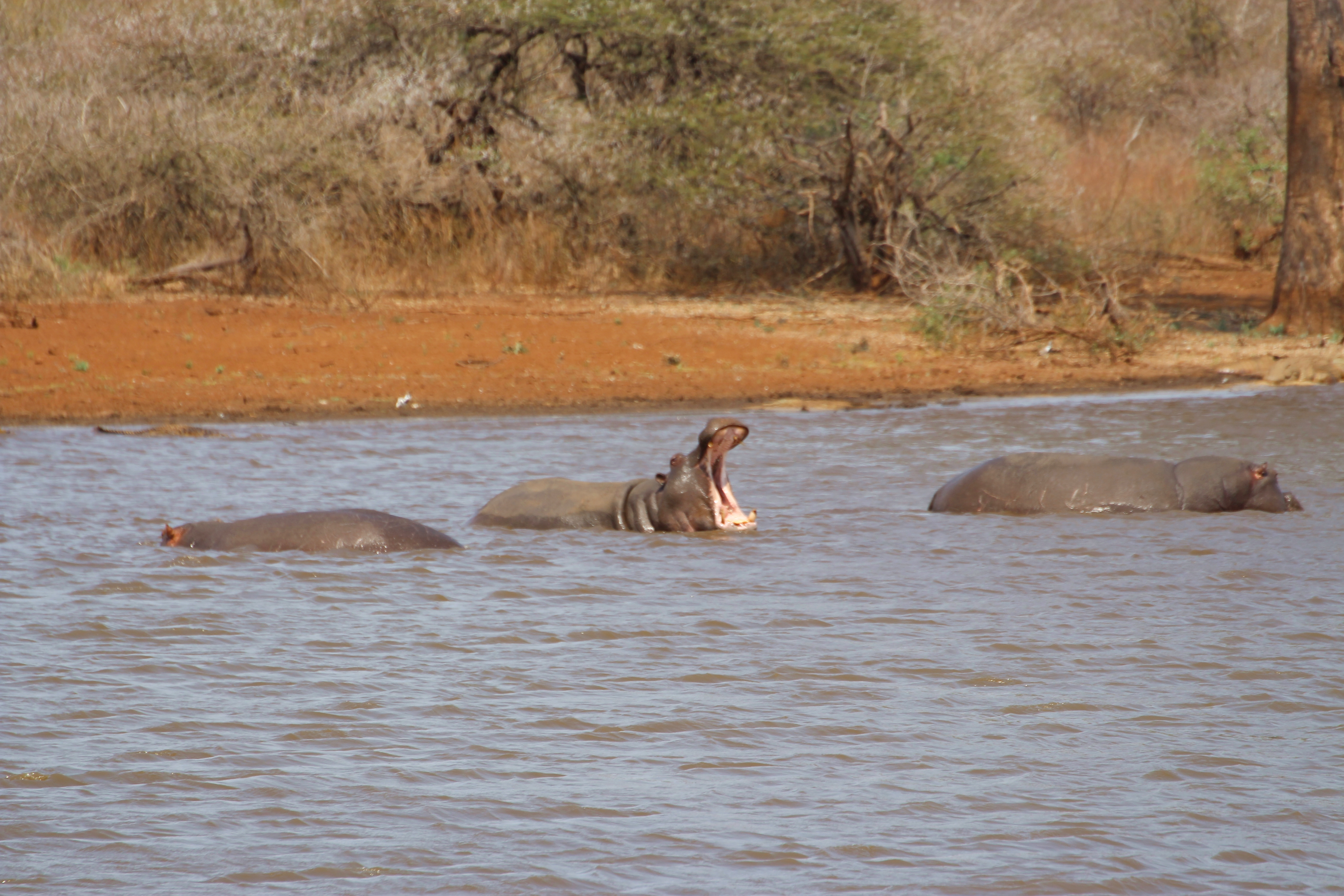 Kruger hippo yawning in water