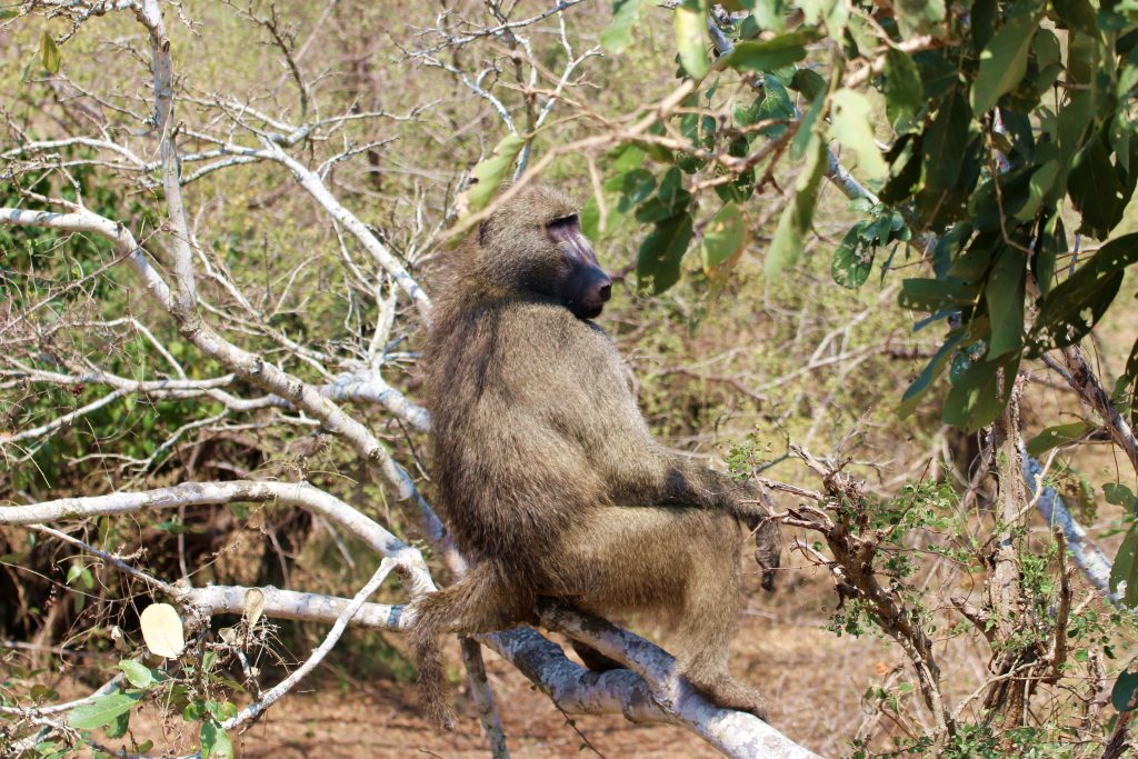 Kruger Baboon Sitting in Tree