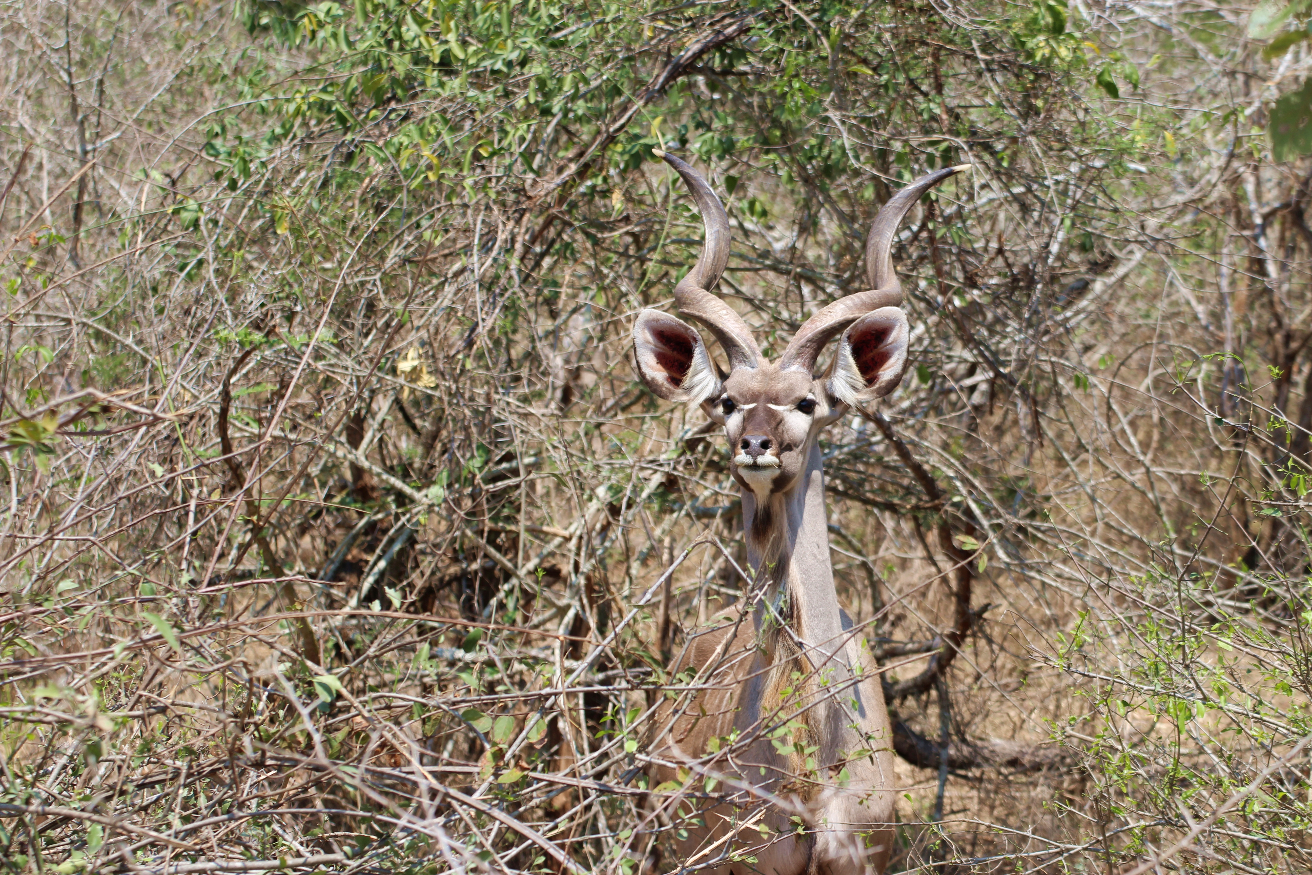 Kruger kudu in the trees