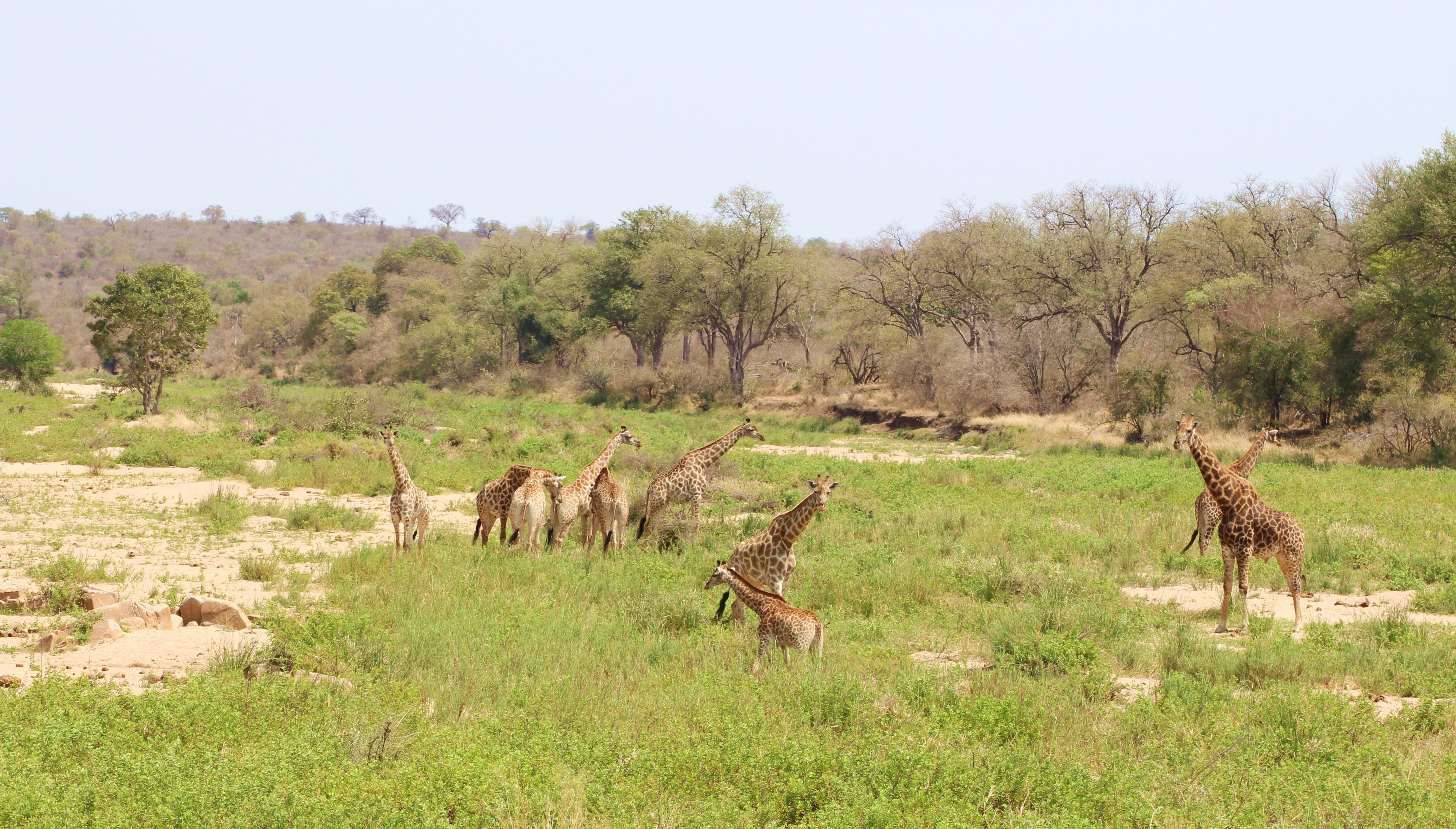 Kruger giraffe pack