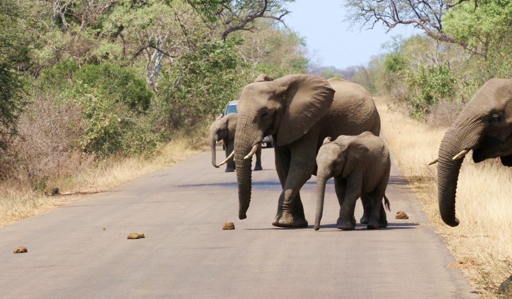 Kruger Elephant Baby Crossing Road