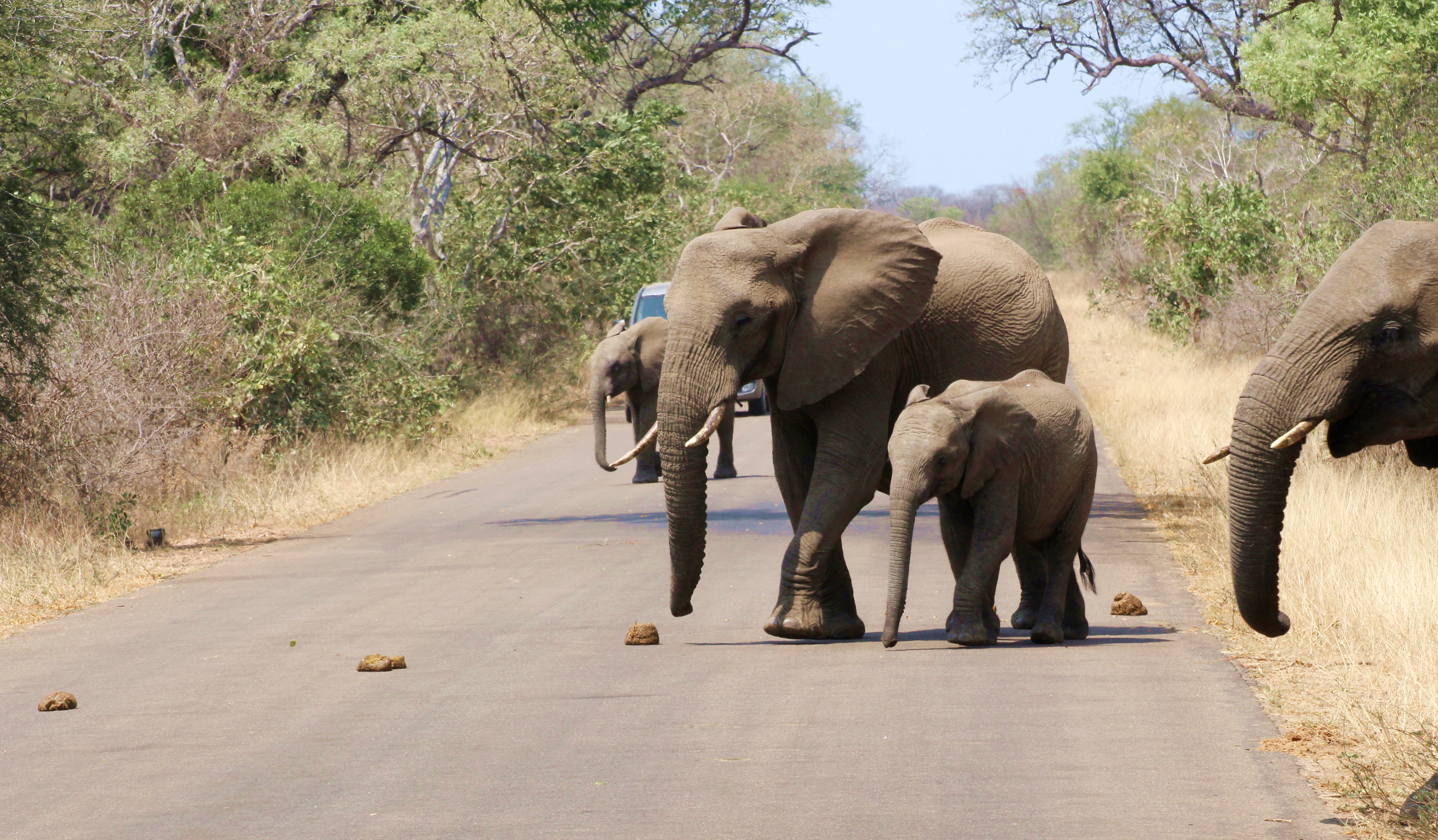 Kruger Elephant and Baby crossing road
