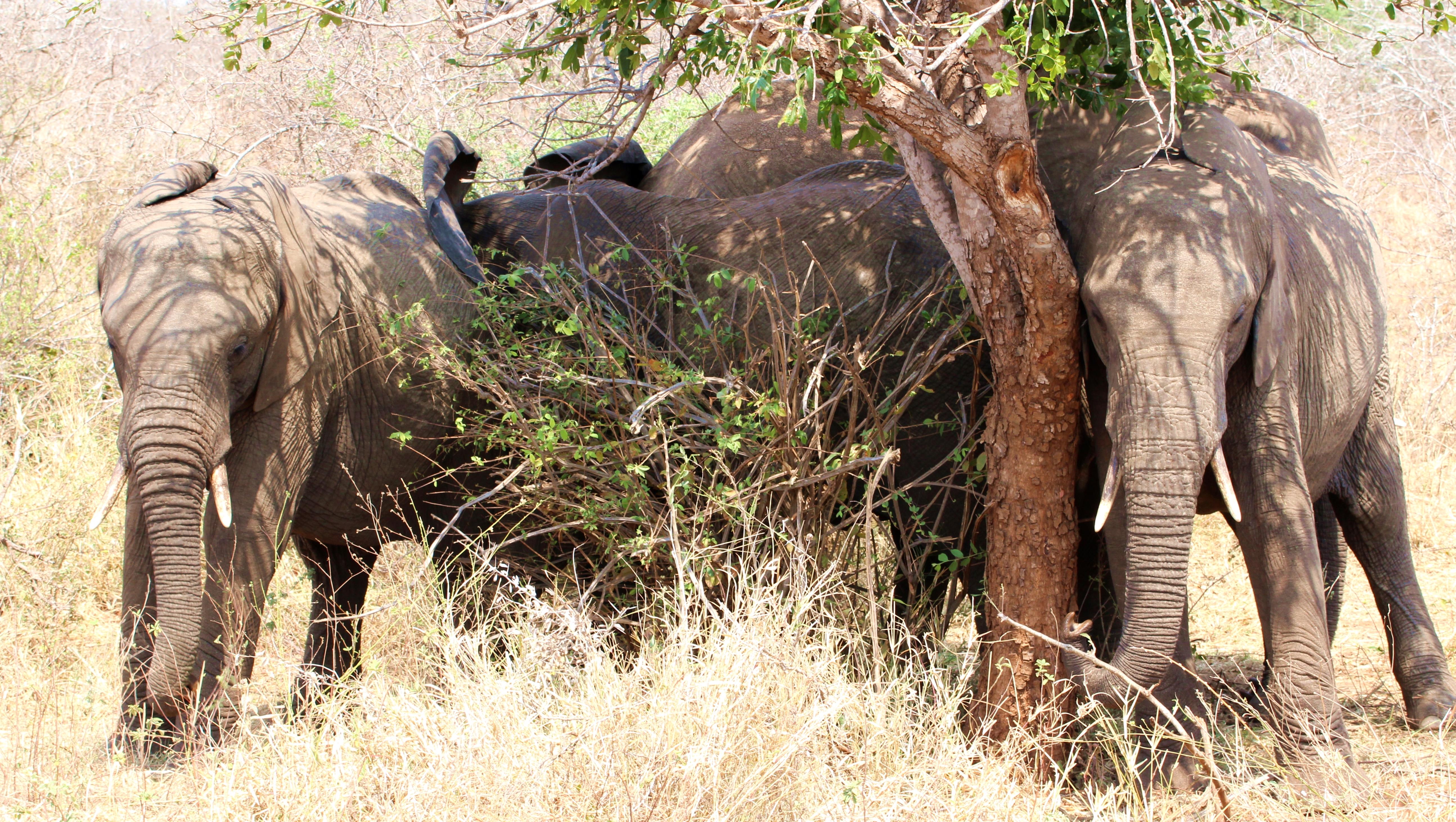 Kruger four elephants under tree