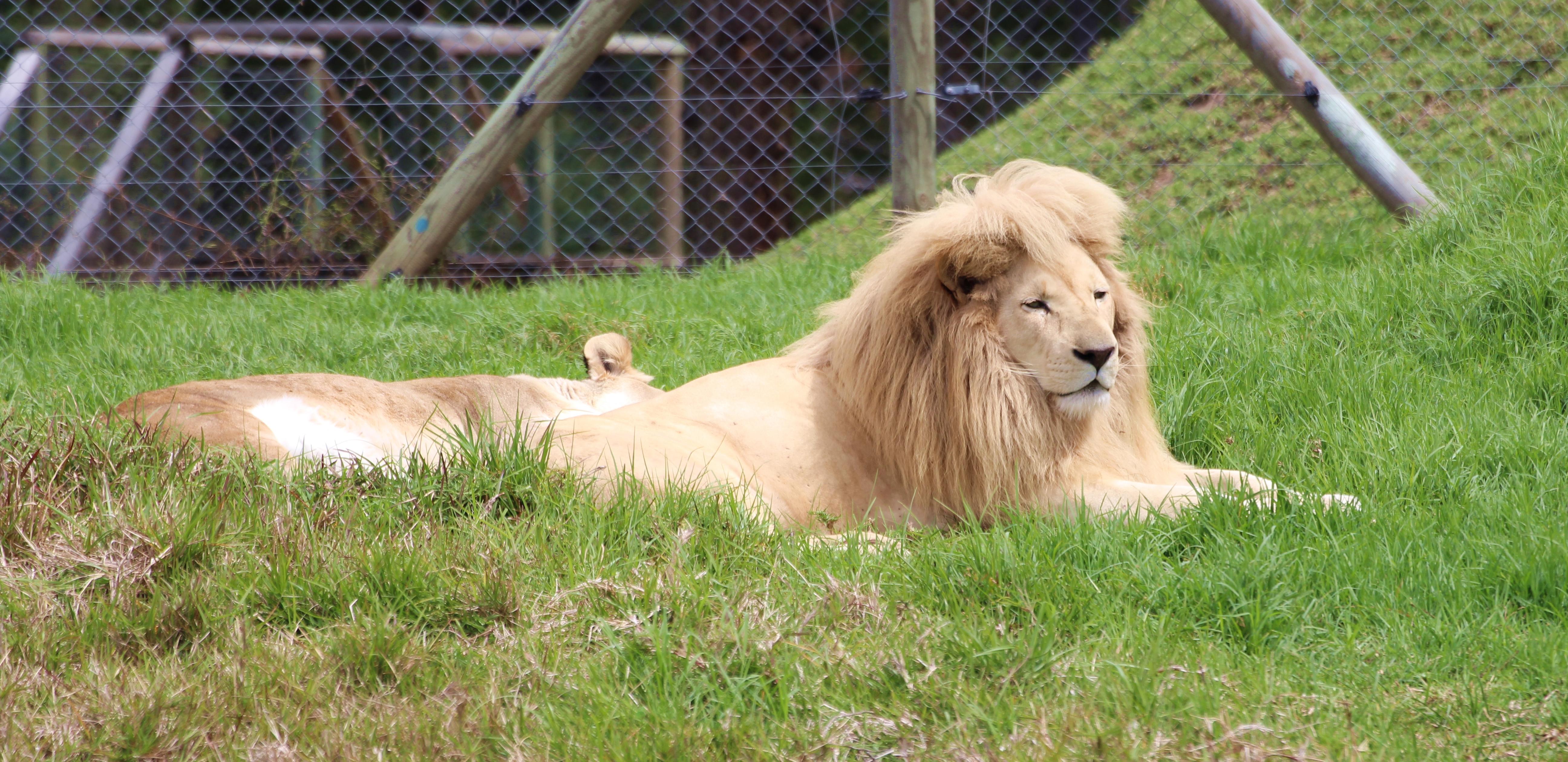 Jukani Albino Lion