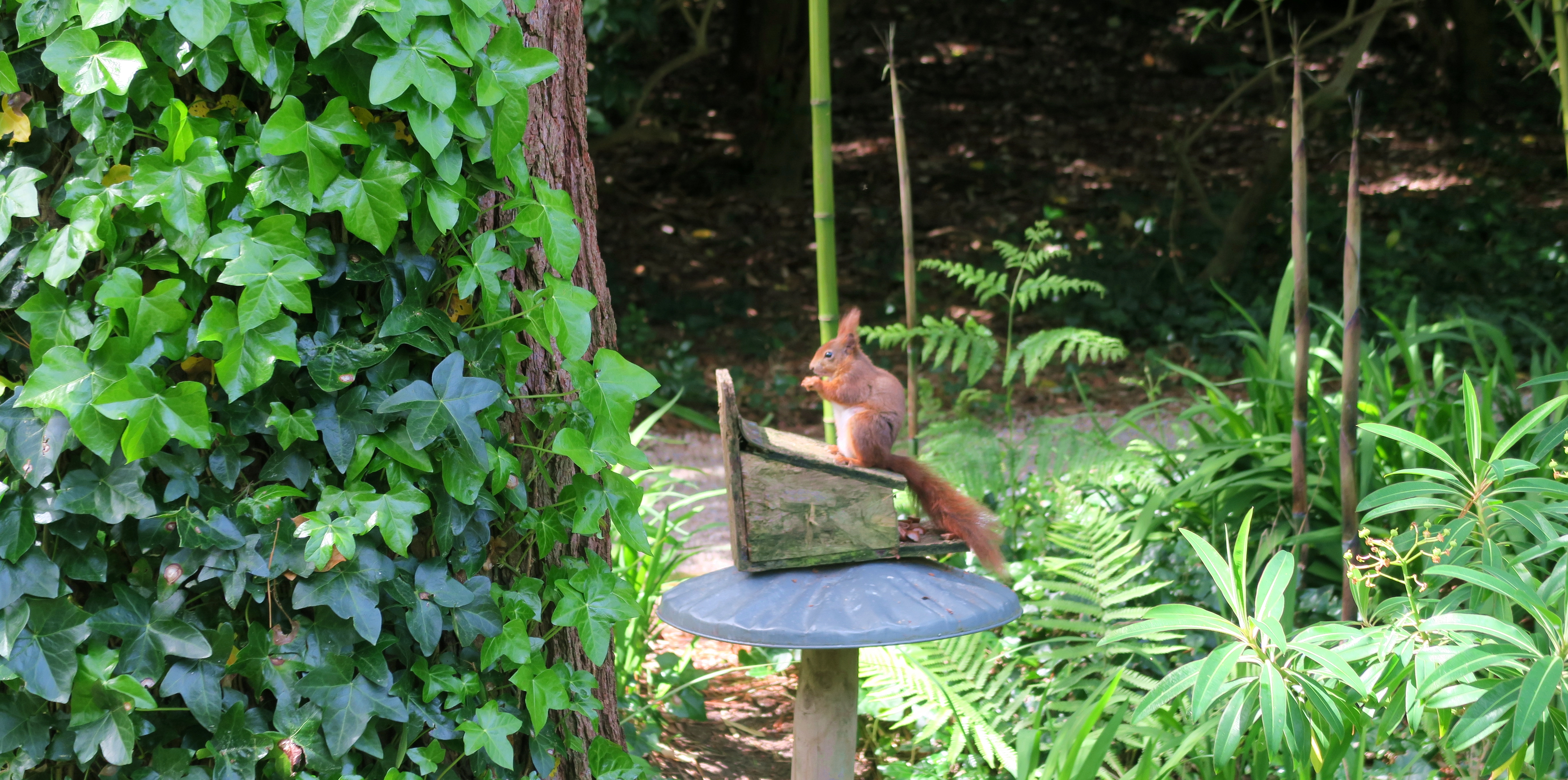 Isle of Scilly Red Squirrels