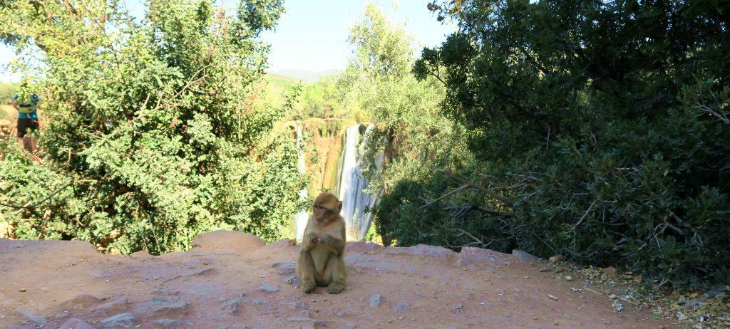 Ouzoud Falls Monkeys
