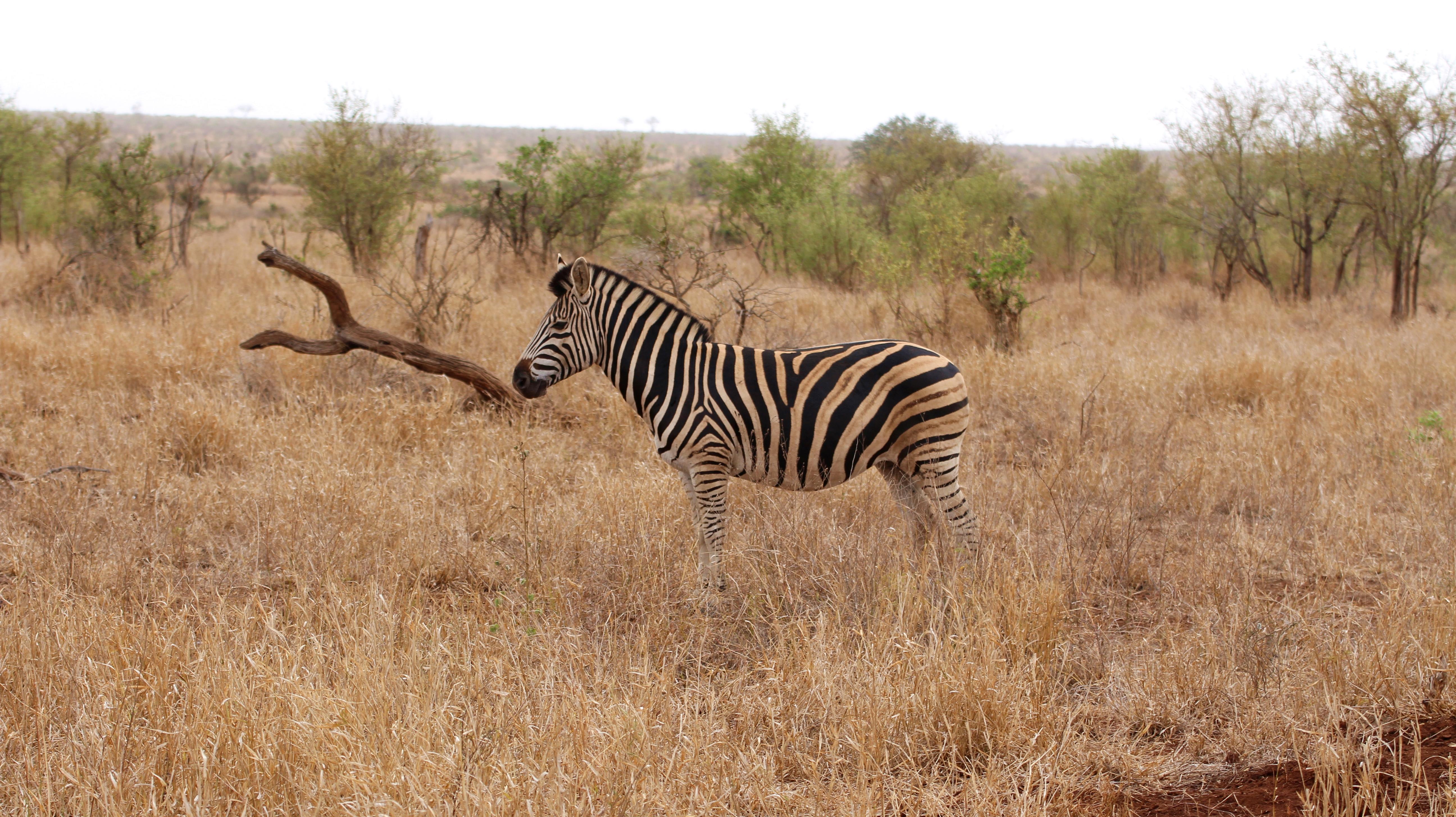 Kruger Wild Zebra