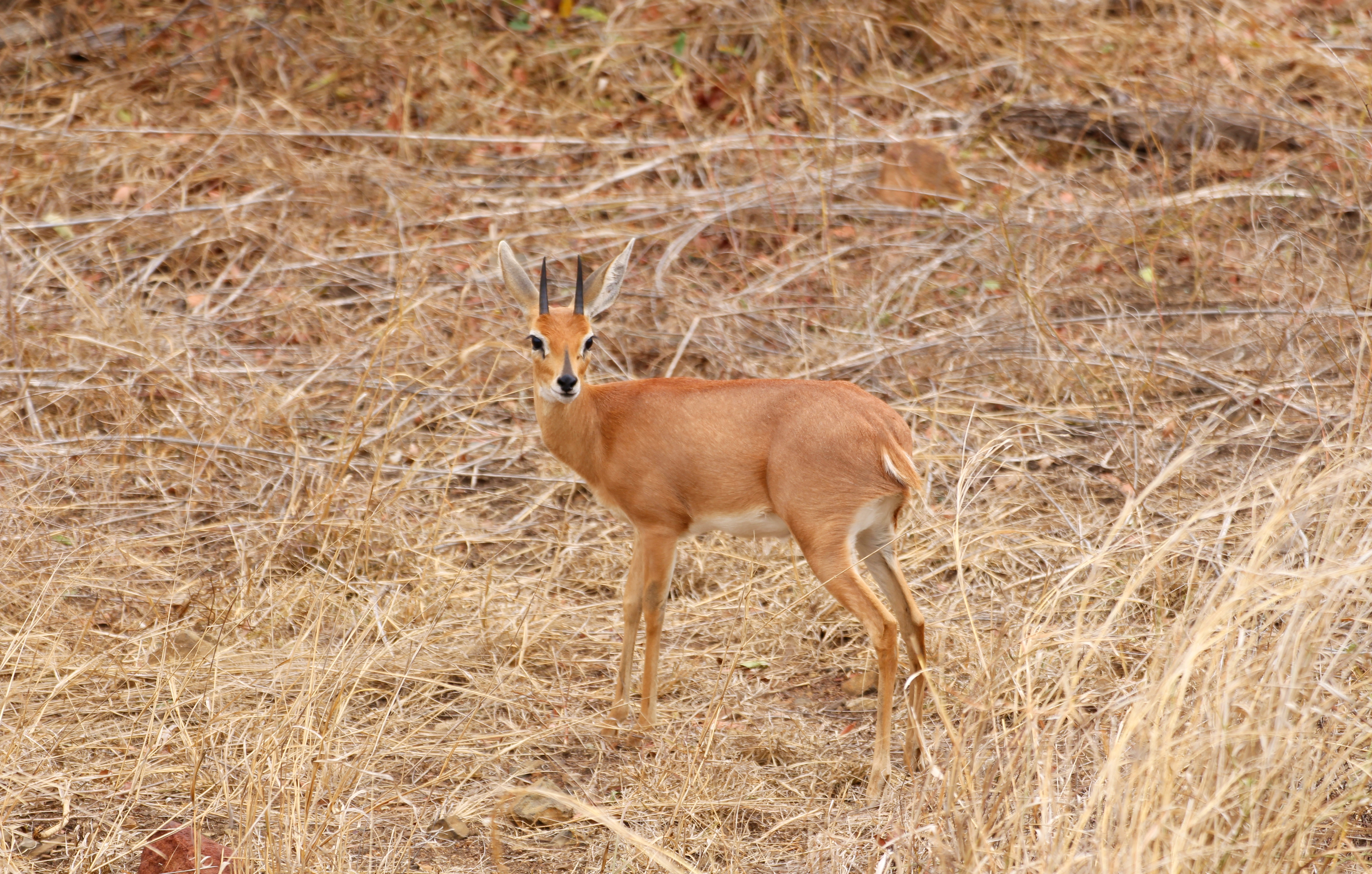 Kruger Small Antelope
