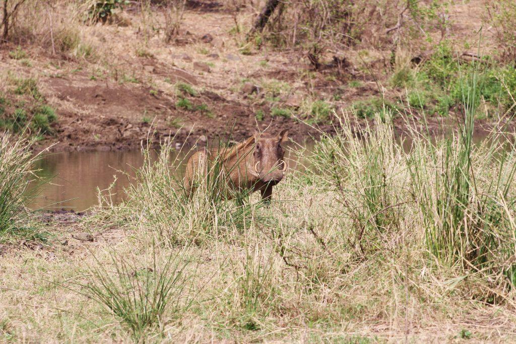 Kruger Warthog Pumba