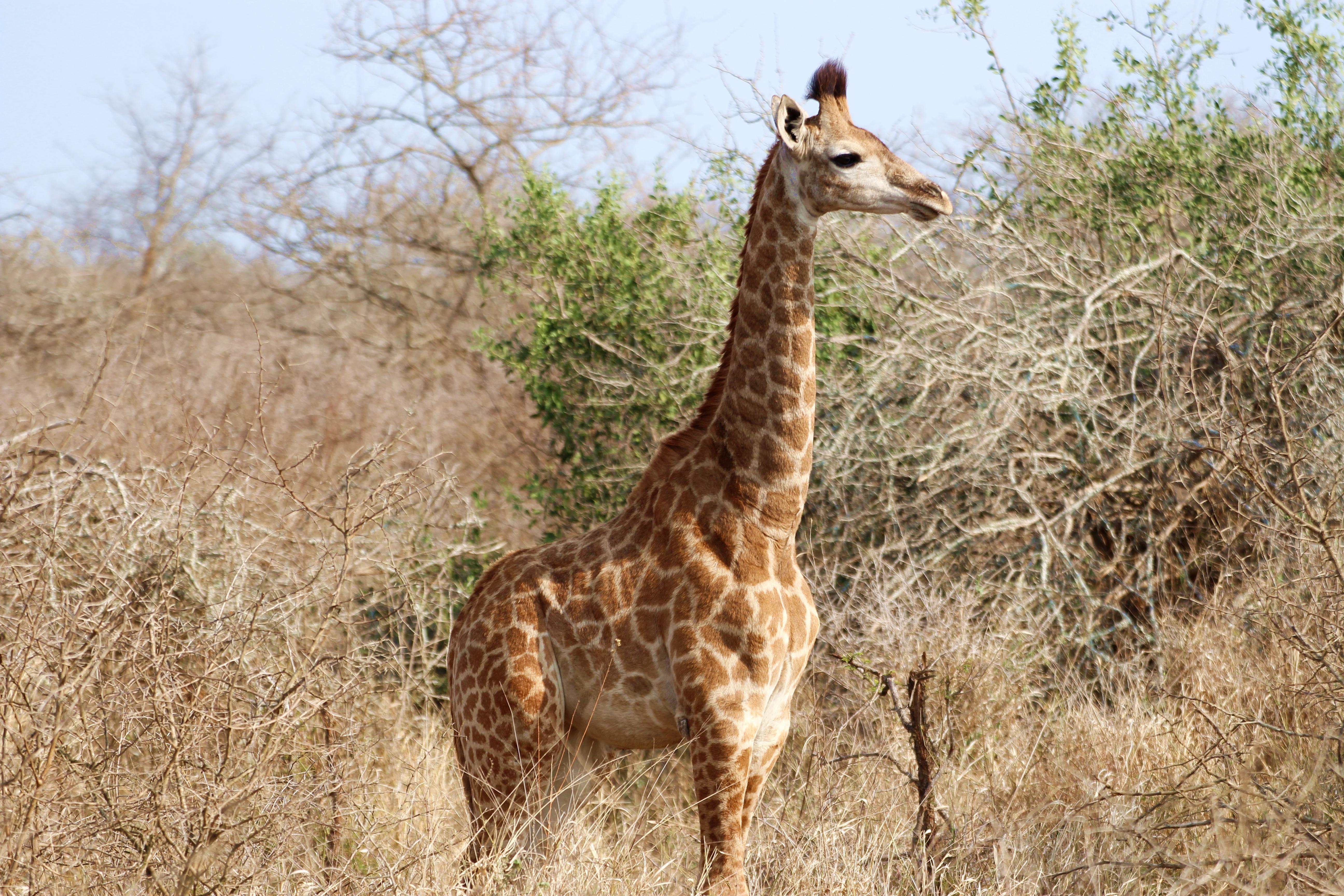 Kruger baby giraffe