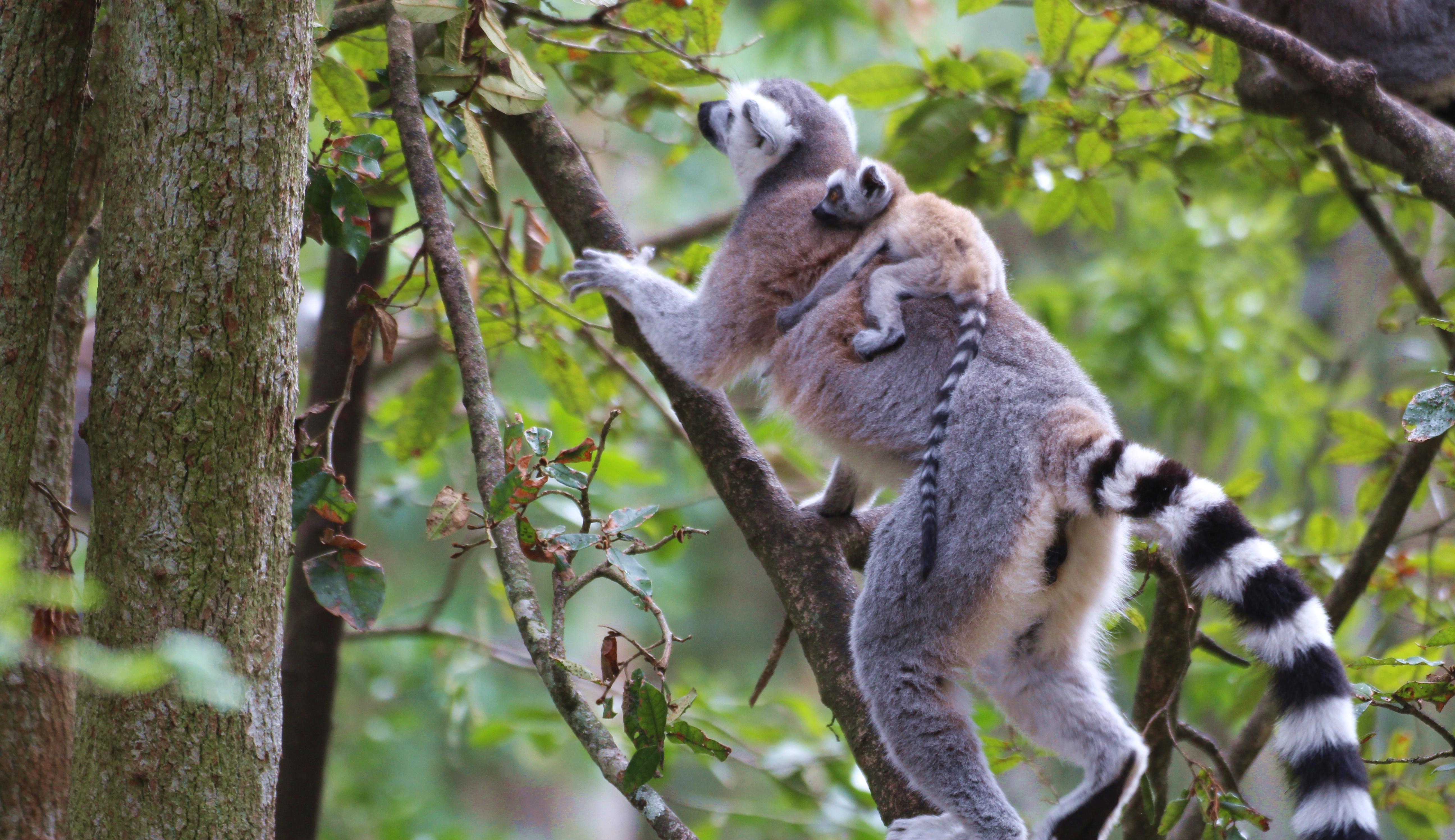 Monkeyland baby lemur
