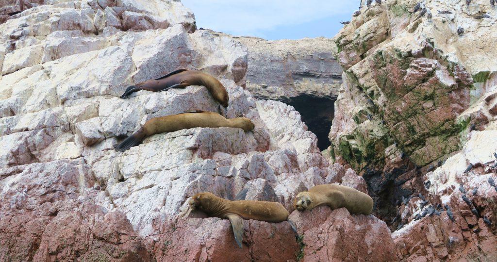 Isla Del Ballestas Peru Seals