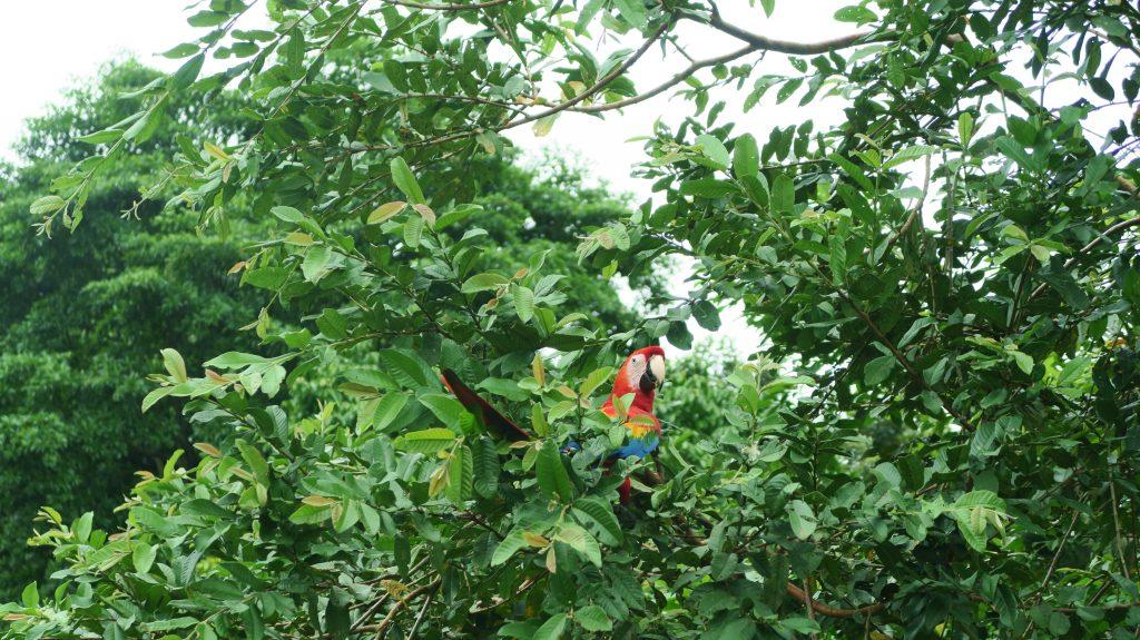 Amazon Jungle Parakeet