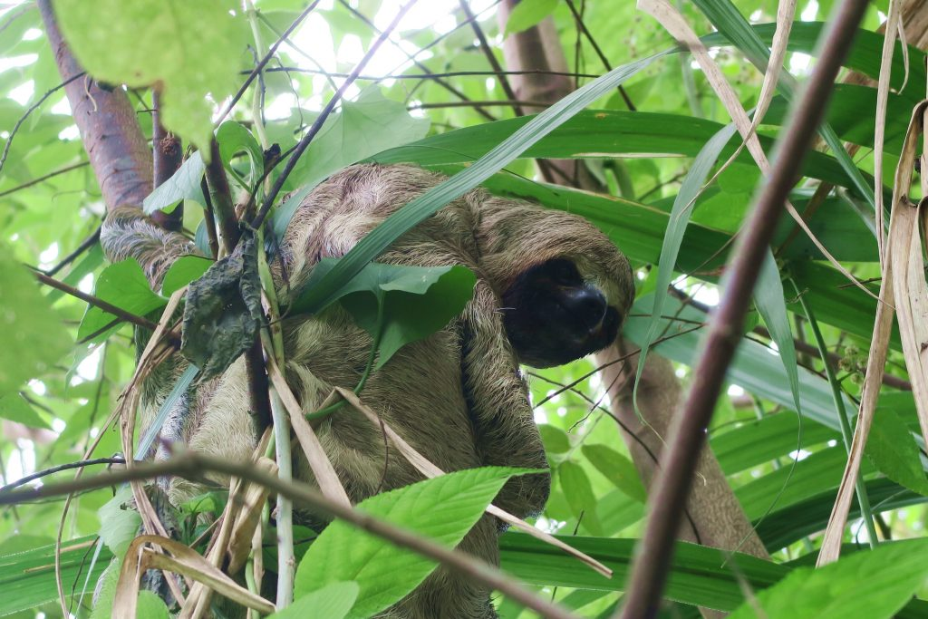 Amazon Jungle Sloth