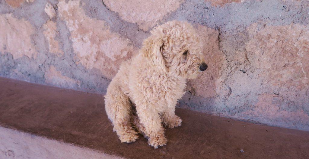 Puppy Chile