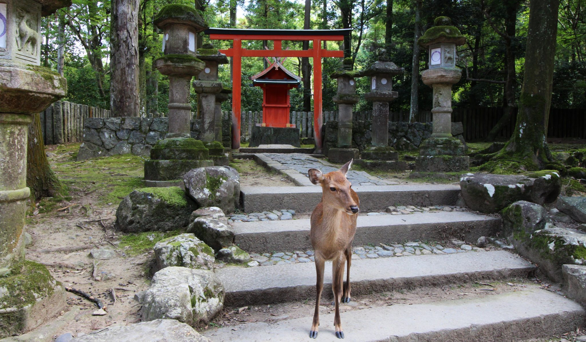 Deer of Nara outside a shrine, Japan