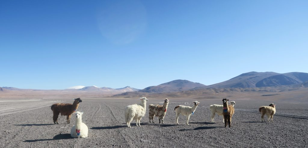 Pack of wild llama in Uyuni, Bolivia