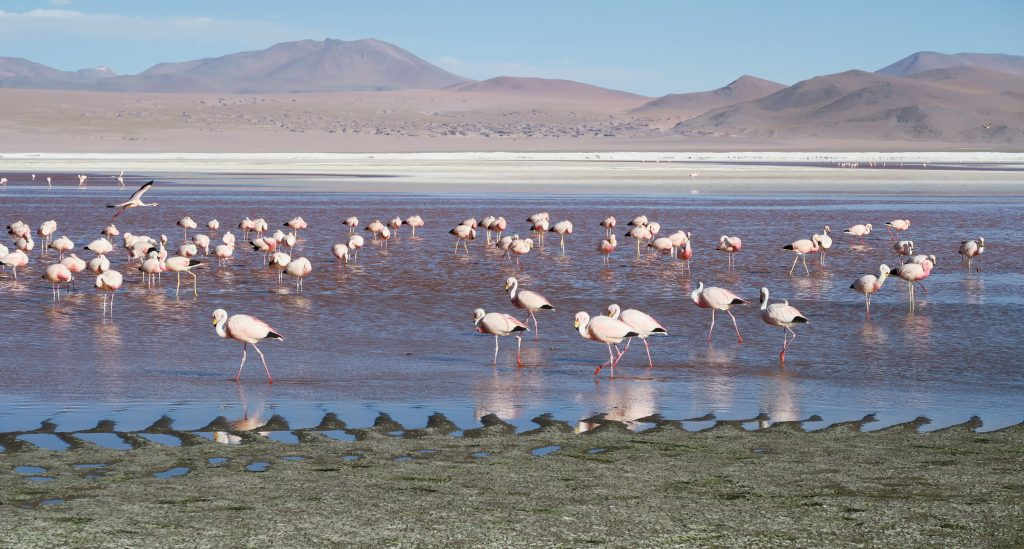 Flamingo in Red Lagoon, Uyuni, Bolivia