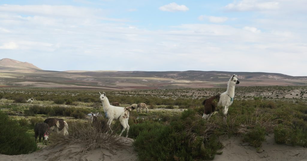 Wild llama in Bolivia