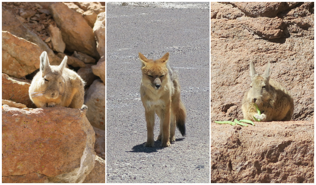 Fox and rabbit in Uyuni