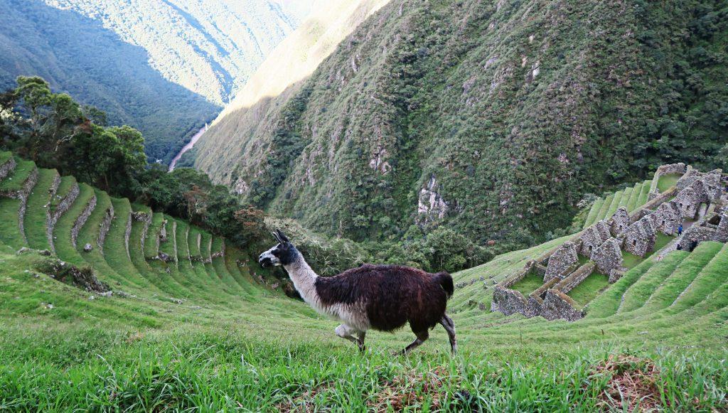 Llama at Intipata On the Inca Trail