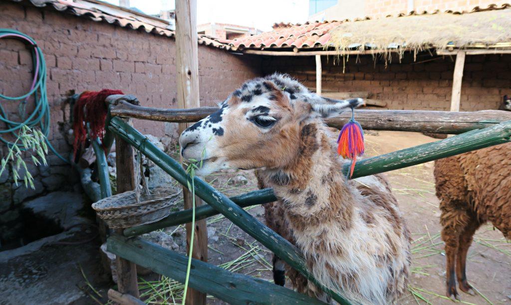 Chinchero Alpaca