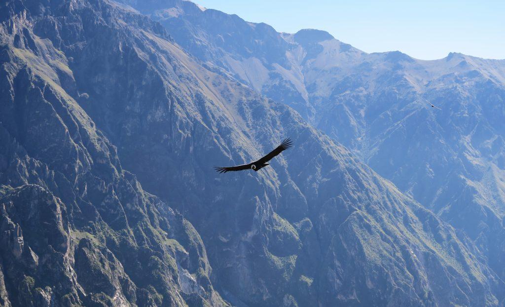 Andean Condor Flying Over The Colca Canyon