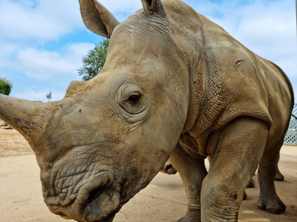 Close up photo of a rhino on Colchester Zoo extra-ordinary experience day.