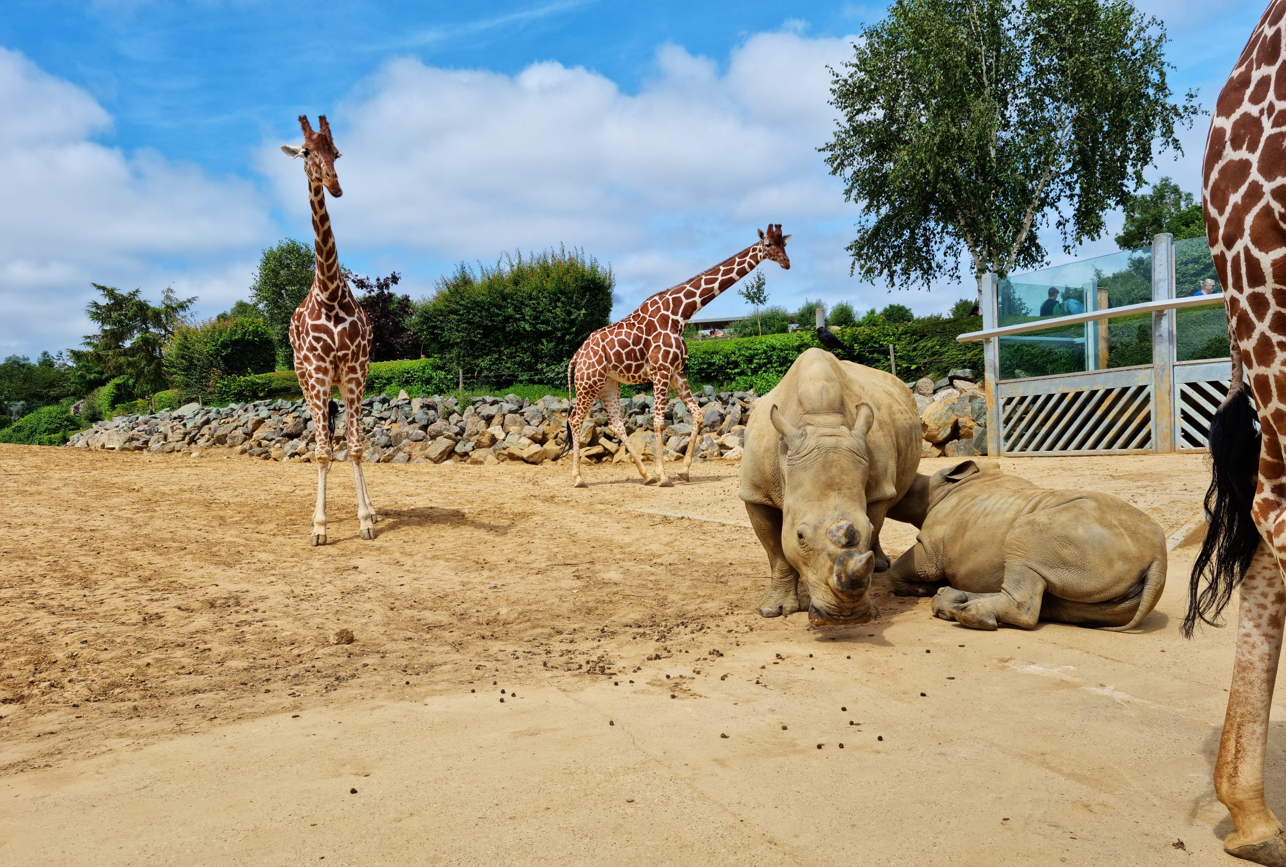 Rhinos and giraffes in paddock at Colchester Zoo extra-ordinary experience day.